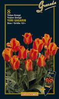 Tulipan Greigii