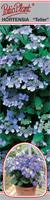"Hortensja ogrodowa ""Teller"" niebieska"