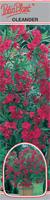 Oleander czerwony